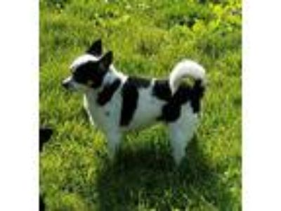Adopt ChaCha a Black - with White Rat Terrier / Pomeranian / Mixed dog in
