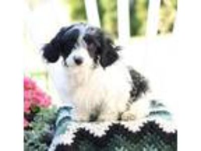 Adopt Snickers a White Cavalier King Charles Spaniel / Poodle (Miniature) dog in