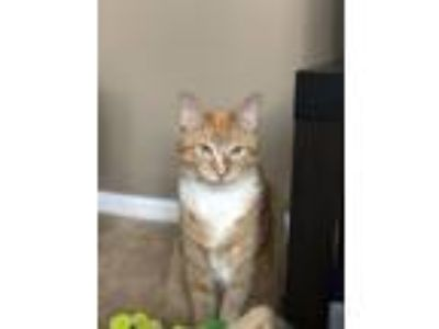 Adopt Maui a Orange or Red Domestic Mediumhair / Mixed cat in Polk City