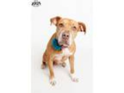 Adopt Lady in a foster home a Boxer