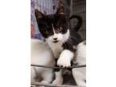 Adopt Duke - EXTREMELY AFFECTIONATE a Black & White or Tuxedo Domestic Shorthair