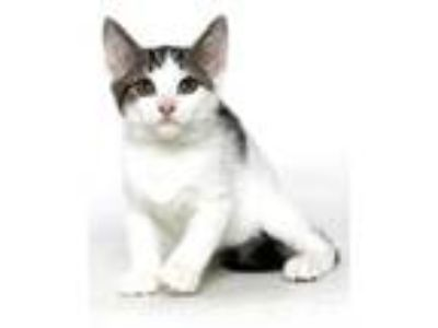 Adopt Dynamite a White Domestic Shorthair / Domestic Shorthair / Mixed cat in