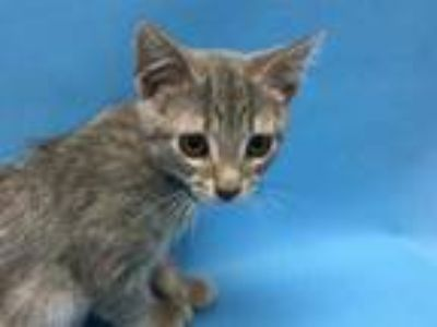 Adopt Lady Tremaine a Gray or Blue Domestic Shorthair / Mixed cat in Coon