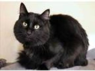 Adopt Lou a All Black Domestic Longhair / Domestic Shorthair / Mixed cat in