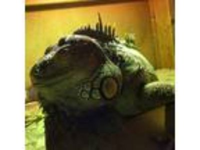Adopt Romeo a Iguana reptile, amphibian, and/or fish in St. Paul, MN (22592973)