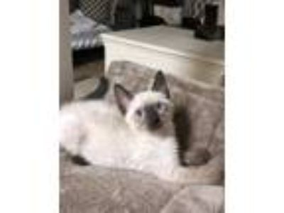 Adopt Little Nugget a Siamese