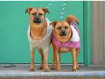 Adopt Brandy and Bella a Pug, Shepherd