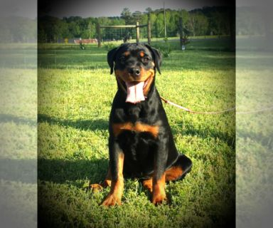 Rottweiler PUPPY FOR SALE ADN-128656 - Rhea