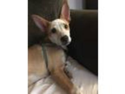 Adopt Dixie a Tan/Yellow/Fawn - with White Australian Cattle Dog / Mixed dog in