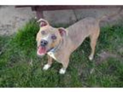 Adopt MILES a American Staffordshire Terrier, Pit Bull Terrier