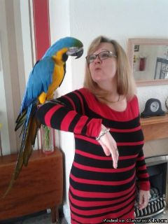 lots of fun blue & gold macaws