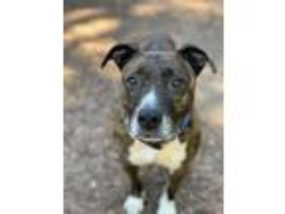 Adopt Chata a Brindle - with White Pit Bull Terrier / Mixed dog in San