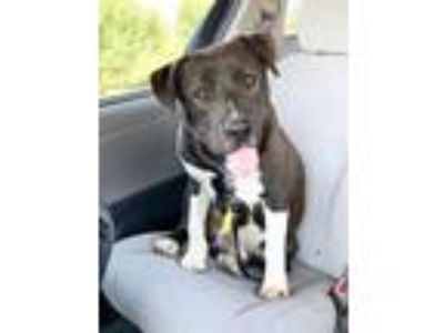 Adopt GUINNESS a American Staffordshire Terrier / Mixed dog in Modesto