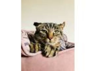 Adopt Kevin a Tiger Striped Domestic Shorthair (short coat) cat in Xenia