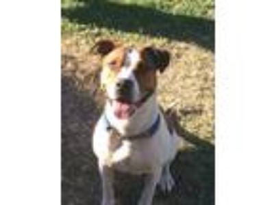 Adopt Davina a White - with Brown or Chocolate American Pit Bull Terrier / Boxer