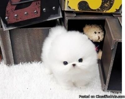 Gorgeous Teacup Pomeranian puppies