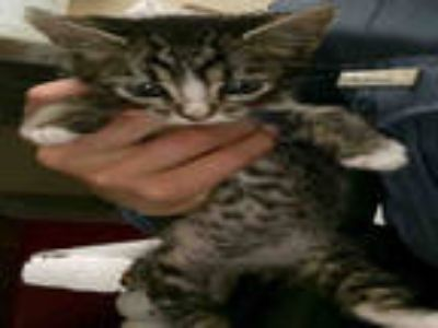 Adopt THUMBALINA a Brown Tabby Domestic Shorthair / Mixed (short coat) cat in