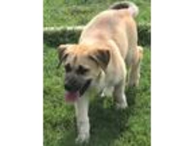 Adopt Jed a Tan/Yellow/Fawn Mixed Breed (Large) / Mixed dog in New Milford