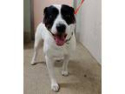 Adopt BERTY a White - with Black Border Collie / Mixed dog in Tavares