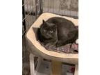 Adopt Miss Meow a Gray or Blue Russian Blue cat in Bolton, CT (25841076)