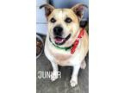 Adopt Junior a Shepherd, Pit Bull Terrier