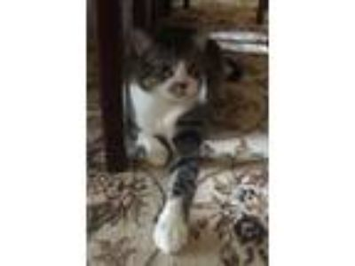 Adopt Slash a Domestic Short Hair, Tabby