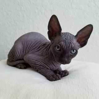 Canadian sphynx kitten male, black, wrinkles and absolutely bald
