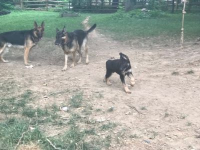 German Shepherd Dog PUPPY FOR SALE ADN-88834 - German Shepard Dog Puppy