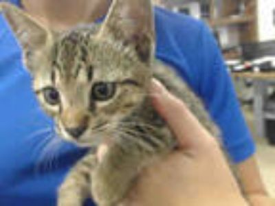 Adopt JAX a Brown Tabby Domestic Shorthair / Mixed (short coat) cat in Doral