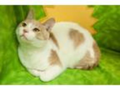 Adopt Phoenix V a White Domestic Shorthair / Mixed cat in Muskegon