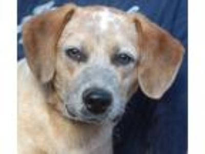 Adopt Guthrie a Australian Cattle Dog / Blue Heeler, Beagle