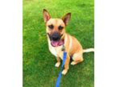 Adopt Tac a Shepherd, German Shepherd Dog