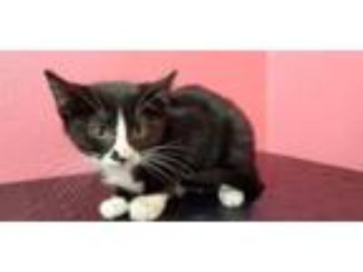 Adopt ANDROMEDA a Domestic Short Hair