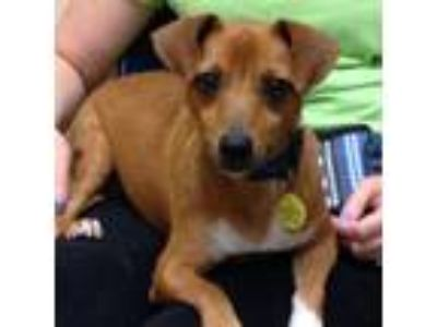 Adopt Frack a Rat Terrier, Mixed Breed
