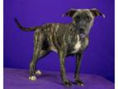 Adopt Honeydew a Pit Bull Terrier / Mixed dog in LAFAYETTE, LA (25538816)