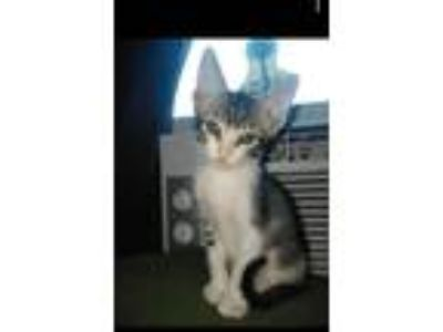 Adopt Bear a Domestic Shorthair / Mixed (short coat) cat in Fort Worth