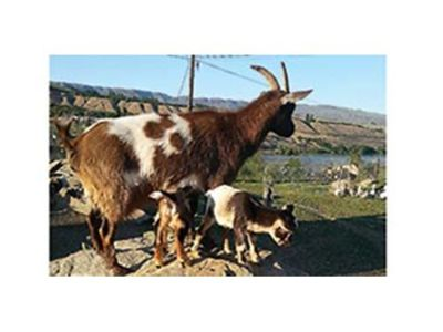 BABY MALE NIGERIAN GOATS VERY SMALL FOR ...