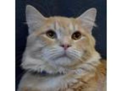 Adopt Gilligan a Domestic Medium Hair, Domestic Short Hair