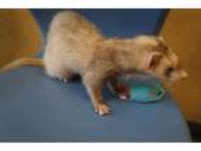 Adopt JEFFERSON a Silver or Gray Ferret / Mixed small animal in Norfolk