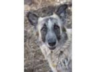 Adopt Cersi a Anatolian Shepherd / German Shepherd Dog / Mixed dog in Kettering