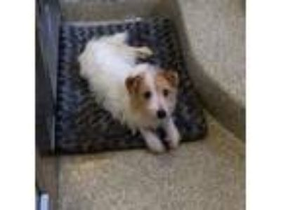 Adopt Cardinal a White Jack Russell Terrier / Mixed dog in Washington