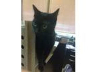 Adopt Cleo a Domestic Short Hair