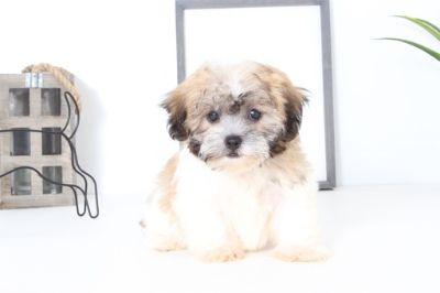 Zuchon PUPPY FOR SALE ADN-99517 - Victoria Female Teddy Bear Puppy