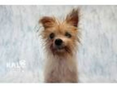 Adopt Bandit a Yorkshire Terrier, Terrier