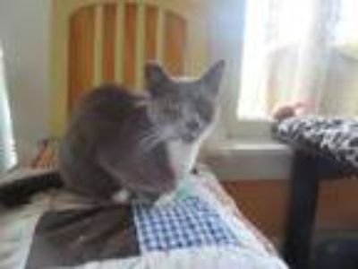 Adopt Bo Bo Guy a Domestic Medium Hair, Domestic Short Hair