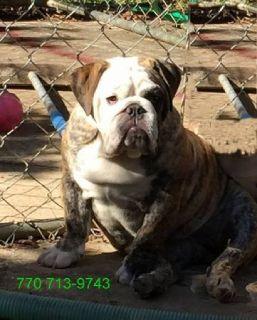 Brindle White English Bulldog Puppy Lost on Union Church Road $2000 R