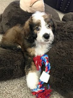 Bernedoodle PUPPY FOR SALE ADN-96559 - Female Bernedoodle Puppy