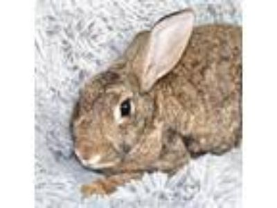 Adopt Kate a Chocolate American / Other/Unknown / Mixed rabbit in Largo