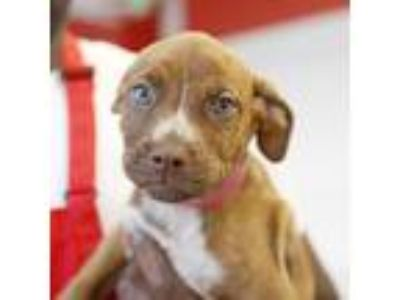 Adopt Gelato a Brown/Chocolate American Pit Bull Terrier / Mixed dog in