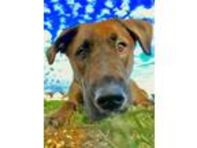 Adopt Pepper a Brown/Chocolate - with White Labrador Retriever / Mixed dog in